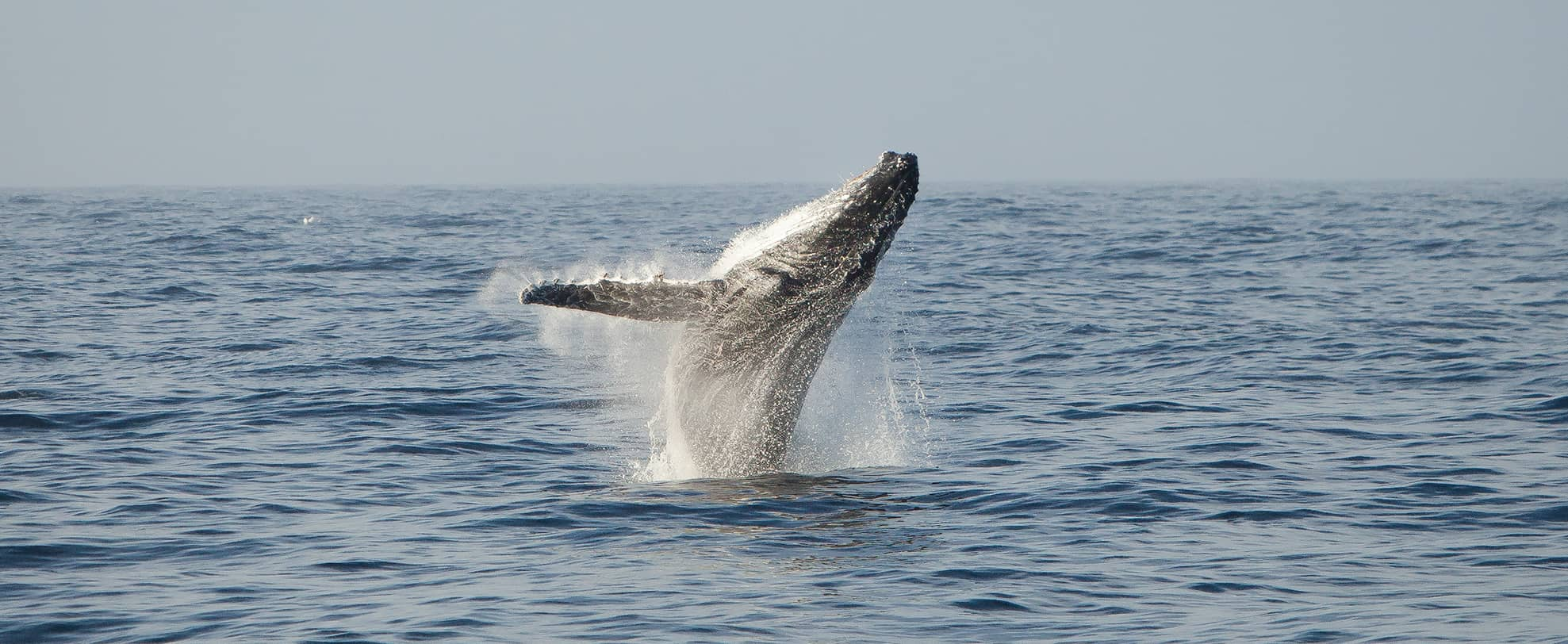 Humpback whale breaching above the water.